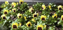 Viola x w. Inspire citronově žl. s okem F1 500s - 2