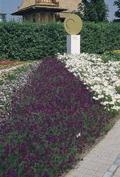 Verbena speciosa Imagination 500s - 2