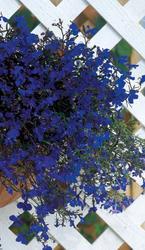 Lobelia erinus Riviera Marine Blue 0,5g - 2