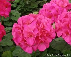 Pelargonium x h. Simona F1 100s - 2