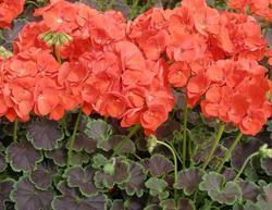 Pelargonium x h. Black Velvet Scarlet F1 100s - 2