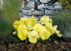 Viola x w. Inspire žlutá F1 500s - 2