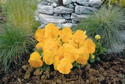 Viola x w. Inspire zlatožlutá F1 500s - 2