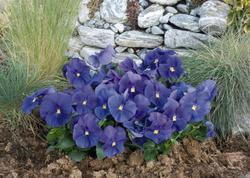 Viola x w. Inspire True Blue F1 500 seeds - 2