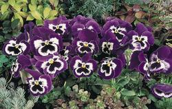 Viola x w. Inspire fialovobílá  F1 500s - 2