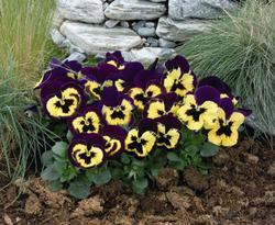 Viola x w. Inspire Violet-Yellow F1 500 seeds - 2
