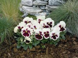 Viola x w. Inspire bílá s červ. okem 500s - 2