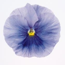 Viola x w. Inspire Silver Blue with Eye 500 seeds - 2