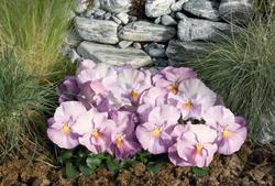 Viola x w. Inspire levandulová F1 500s - 2