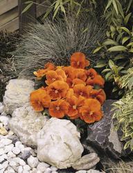 Viola x w. Cats oranžová F1 500s - 2
