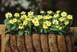 Zinnia maryladica Zahara Yellow 100s - 2