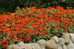 Zinnia maryladica Zahara Fire 100s - 2