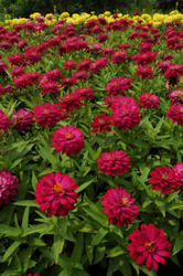Zinnia maryladica Zahara Double Cherry 100 seeds - 2