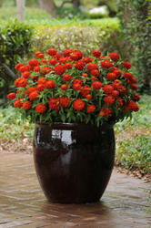 Zinnia maryladica Zahara Double Fire 100 seeds - 2