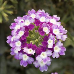 Verbena Obsession Cascade Violet Twister 100s - 3
