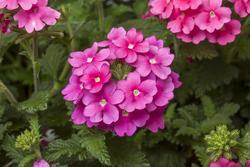 Verbena Obsession Cascade Pink Shades 100s - 3