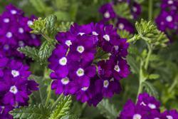 Verbena Obsession Cascade Purple Sh.with Eye 100s - 3