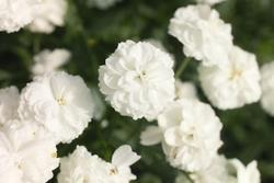 Achillea ptarmica Pearl Reselected 0,25g - 3