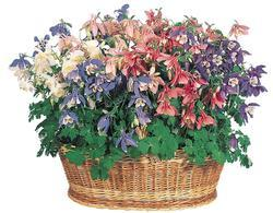 Aquilegia caerulea Spring Magic Mix 0,5g - 3