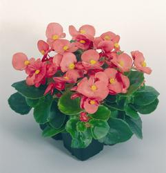 Begonia semp. Sprint Rose F1 1000 pelet - 3