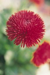 Bellis perennis Roggli červená 500s - 3