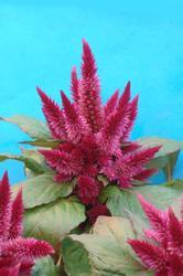 Celosia spicata Kosmo Purple Red 100s - 3
