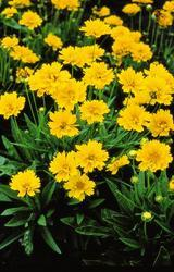 Coreopsis grandiflora  Early Sunrise 500s - 3