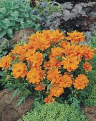 Cosmos sulphureus Cosmic Orange 100s - 3