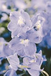 Delphinium grand.Summer Blues 250 seeds - 3