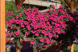 Petunia h. Diamond Purple F1 50 pellets - 3