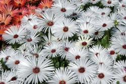 Dorotheanthus b. Gelato Formula Mix 1500 seeds - 3