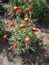 Helichrysum bracteatum Rudé 2g - 3