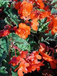 Begonia t. pendula Chanson měděná F1 50 pelet - 3