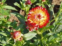 Helichrysum bracteatum Oranžové 2g - 3