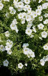 Petunia h. White Velvet F1 50 pelet - 3