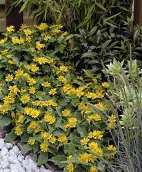 Melampodium paludosum Golden Globe 250s - 3