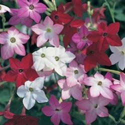 Nicotiana Perfume Mixture F1 250 seeds - 3