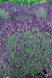 Lavandula ang.Hidcote Blue 1000 seeds - 3