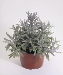 Lavandula ang. Munstead Variety 1000 seeds - 3