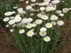Helipterum roseum bílé 1g - 3