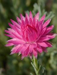 Helipterum roseum růžové 1g - 3