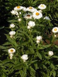 Helichrysum bracteatum Bílé 2g - 3