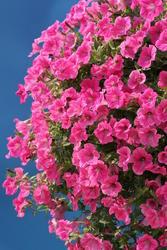 Petunia h. Rose Vein Velvet  F1 250 pelet - 3