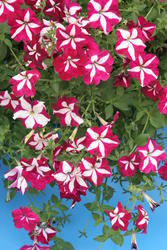 Petunia pendula Lavina purpurová hvězda F1 300s - 3