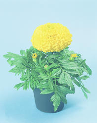 Tagetes erecta Discovery Yellow F1 200s - 3