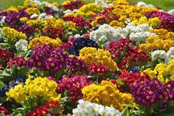 Primula elatior Colossea Mixed 0,50g - 3