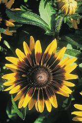 Rudbeckia hirta Sonora 500s - 3