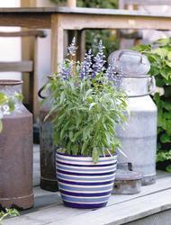 Salvia farinacea Fairy Queen 1000s - 3