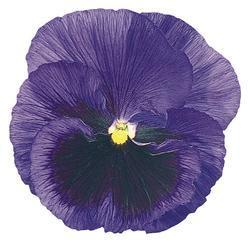 Viola x w. Inspire modrá s okem  F1 500s - 3