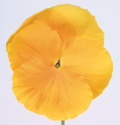Viola x w. Inspire zlatožlutá F1 500s - 3